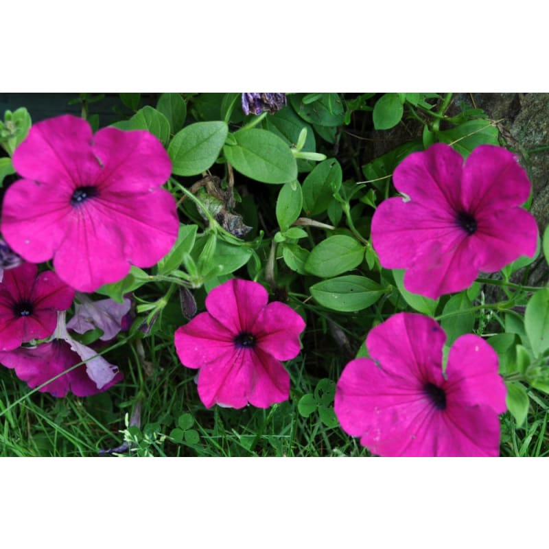Purple Wave Petunia - Flowers