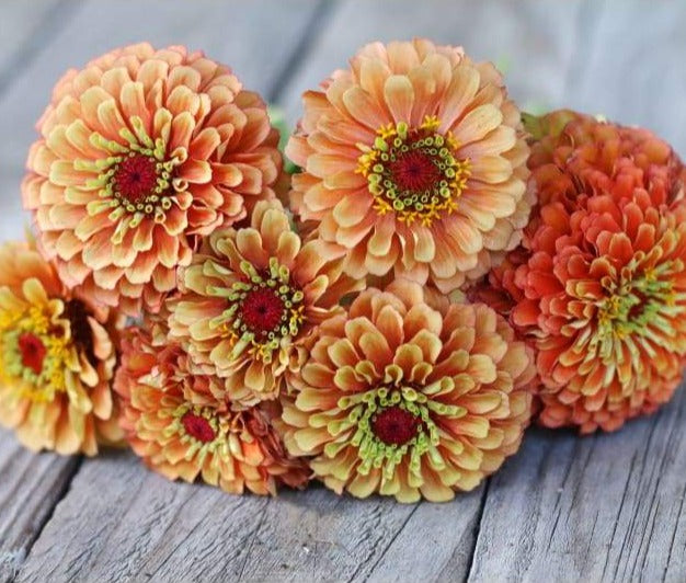 Queen Lime Orange Zinnia - Flowers