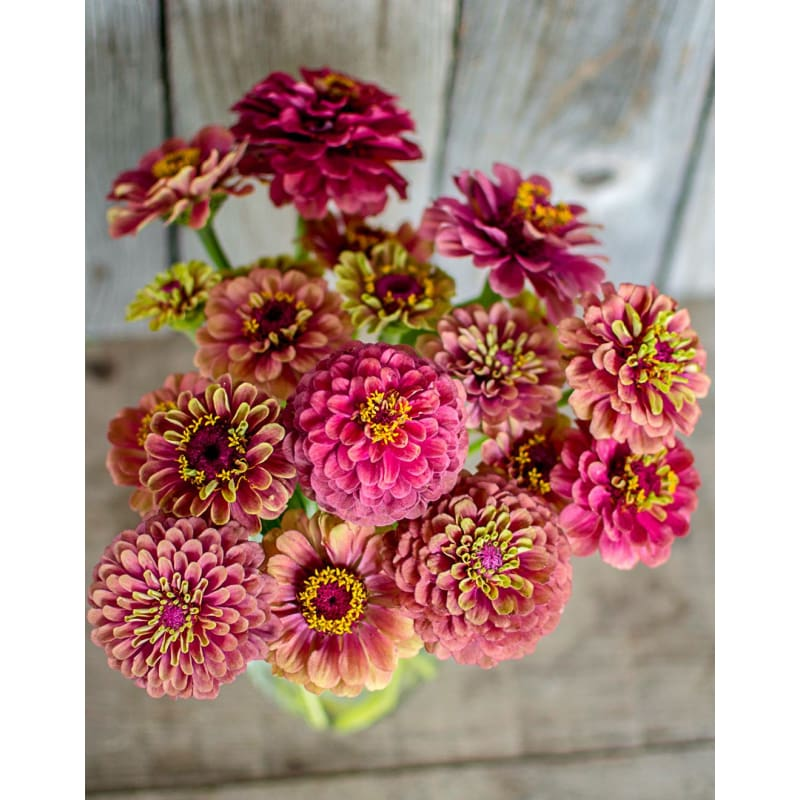 Queen Red Lime Zinnia - Flowers