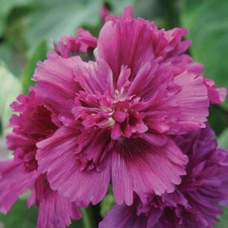 Hollyhock - Queeny Purple - Flowers
