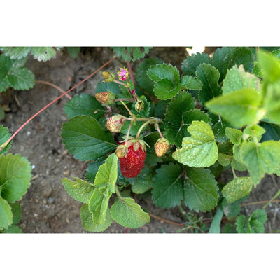 Rainbow Treasure Strawberry ( F1 Hybrid ) - Vegetables