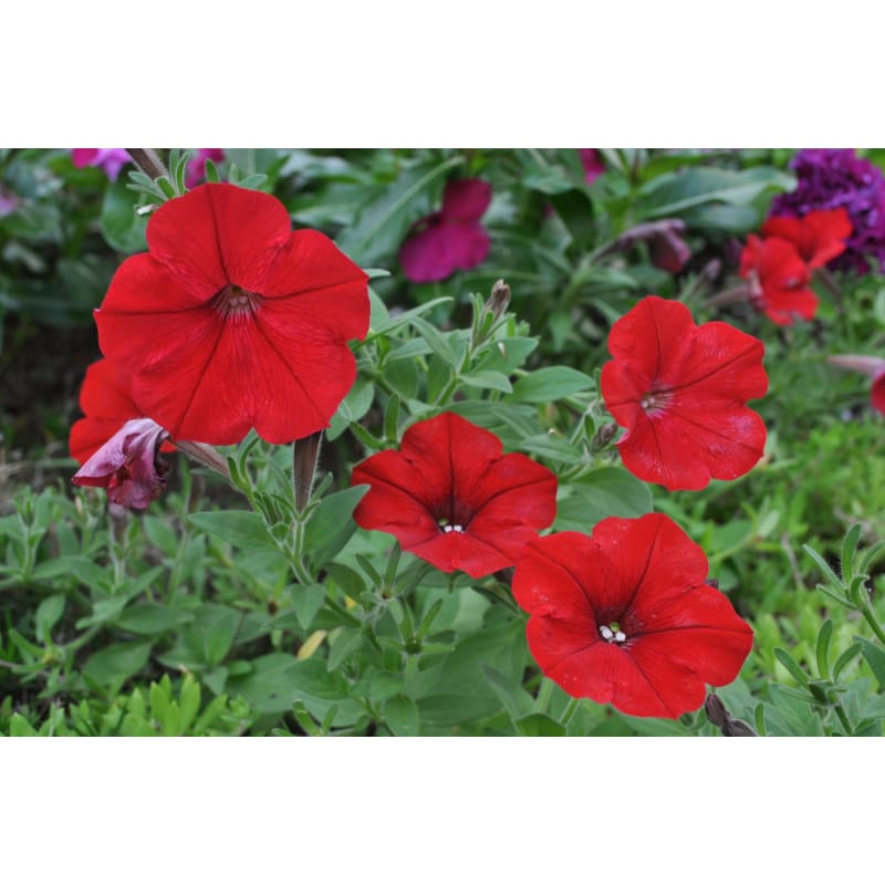 Red Easy Wave Petunia