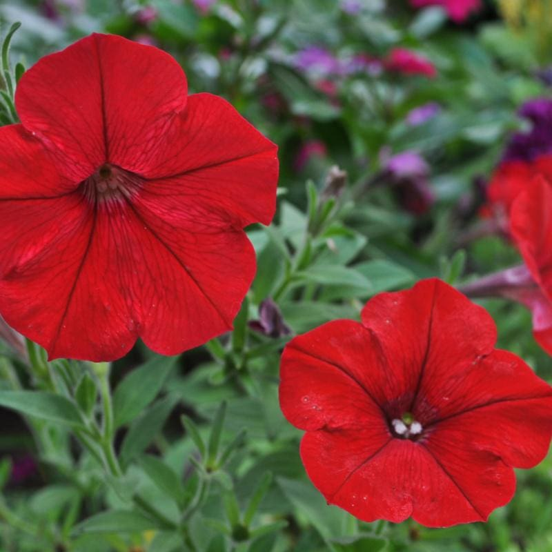 Red Easy Wave Petunia - Flowers