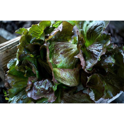 Red Iceberg Lettuce (70-80 Days) - Vegetables