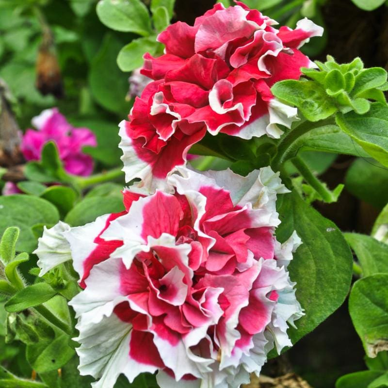 Red Pirouette Petunia - Flowers
