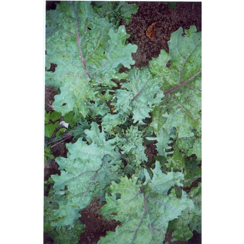 Red Russian Kale (Heirloom 58 Days) - Vegetables