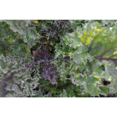 Redbor Kale (F1 Hybrid 55 Days) - Vegetables