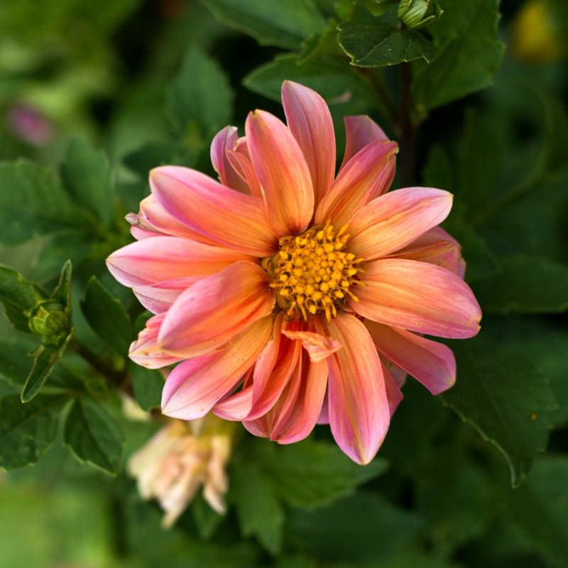 Redskin Mix Dahlia - Flowers