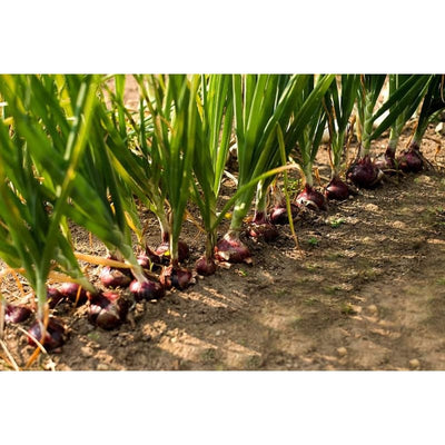 Redwing Onion (F1 Hybrid 110 Days) - Vegetables