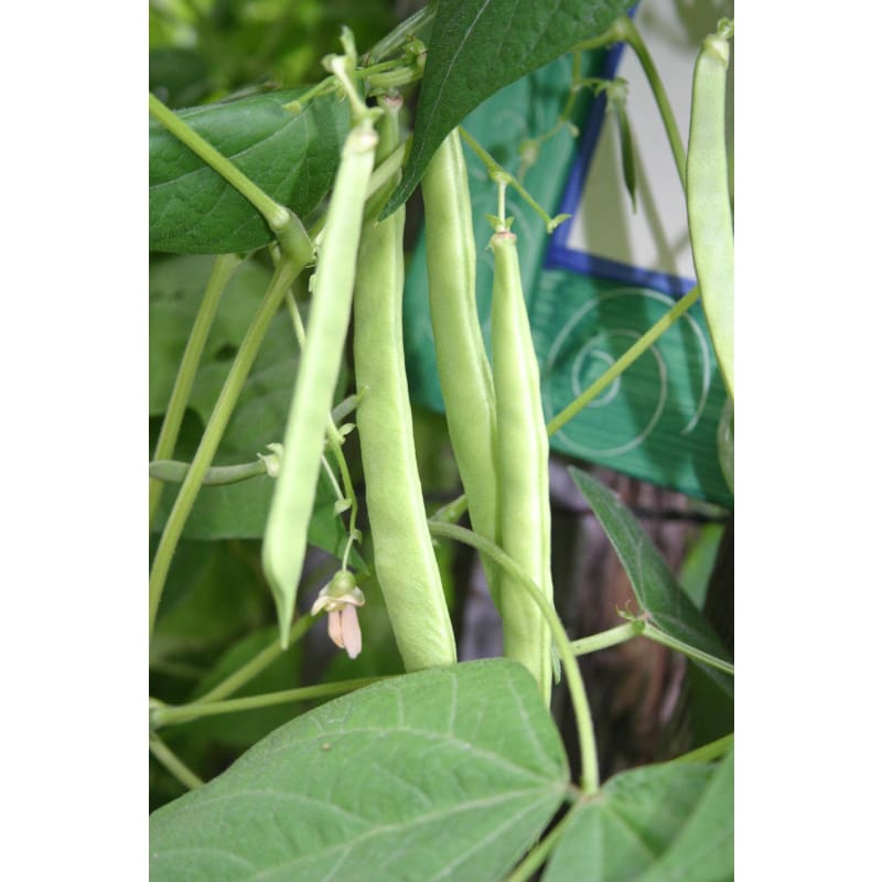 Romano Pole Bean  (64 days) - Discontinued
