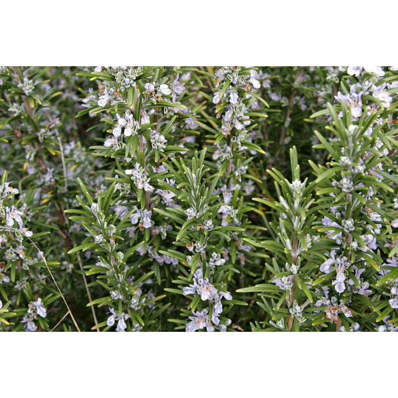 Rosemary Essential Oil (5 Ml) - Crafts