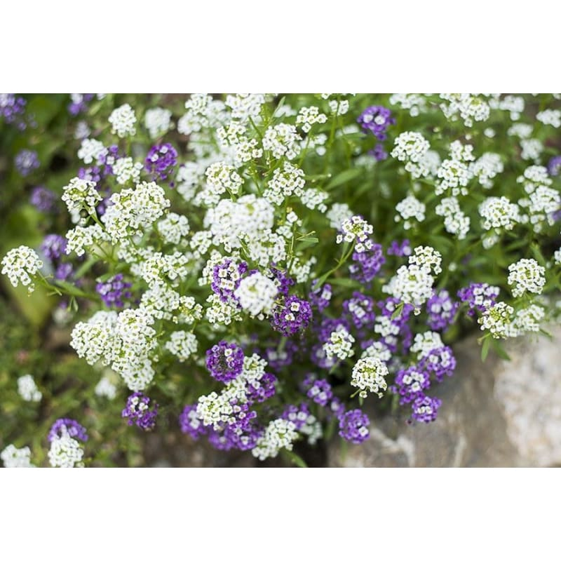 Royal Carpet Alyssum - Flowers