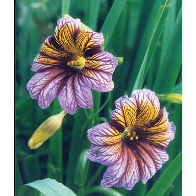 Salpiglossis - Royale Mix - Flowers