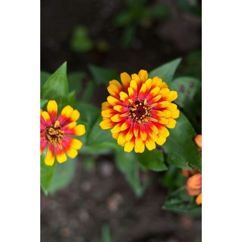 Scarlet and Yellow Swizzle Zinnia - Flowers