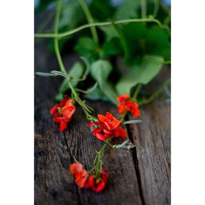 Scarlet Runner Bean (Heirloom 80 Days ) - Vegetables