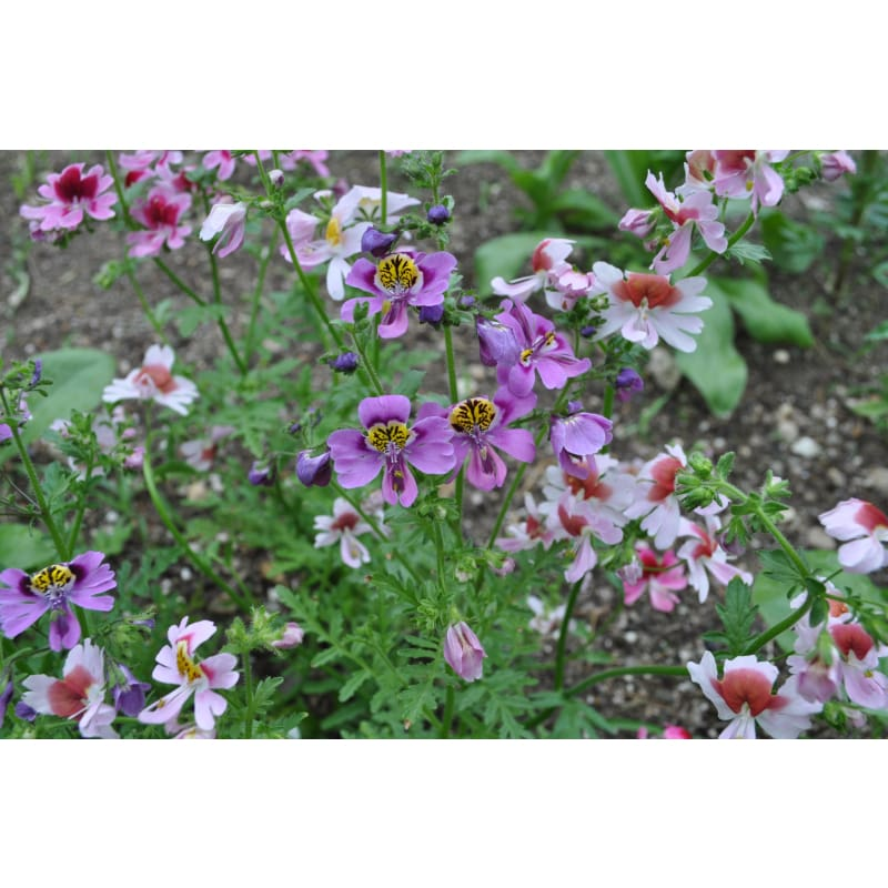 SCHIZANTHUS - ANGEL WINGS - Flowers