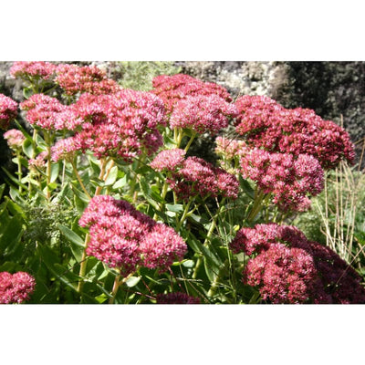 Sedum Mix - Flowers
