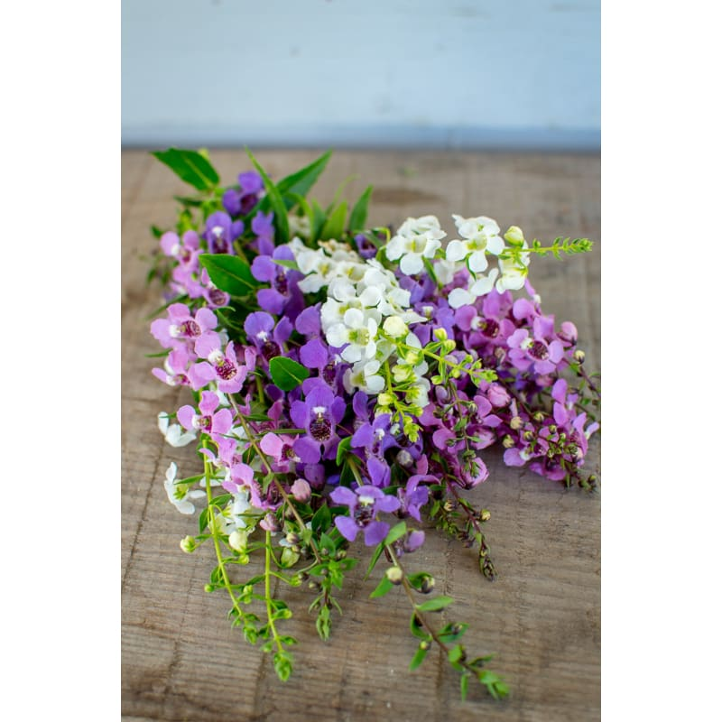 Serena Mix Angelonia - Flowers