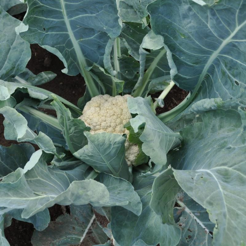 Snow Crown Cauliflower (F1 Hybrid 53 Days) - Vegetables