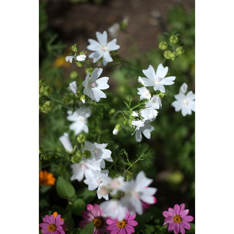 Snow White Malva - Flowers