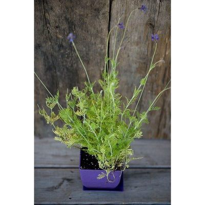 Spanish Eyes Lavender - Herbs
