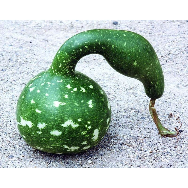 Speckled Swan Gourd (125 Days) - Vegetables