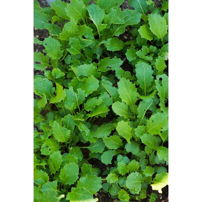 Spigariello Liscia Greens (44 Days) - Vegetables