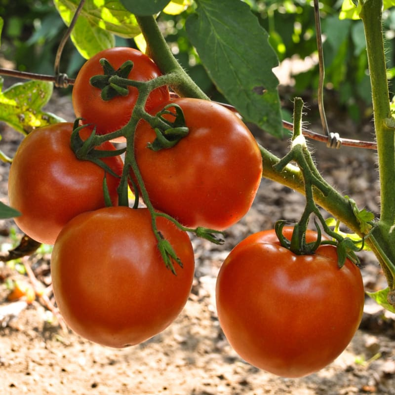 Stellar Tomato (F1 Hybrid 70-75 Days) - Vegetables