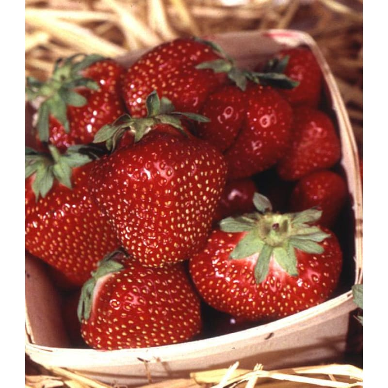Strawberry 'Cabot'