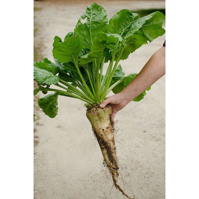 Sugar Beet (100 Days) - Vegetables
