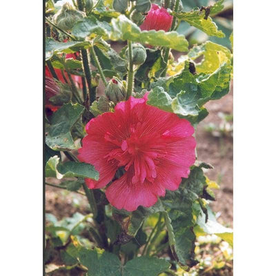 Hollyhock - Summer Carnival - Flowers