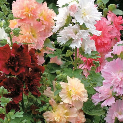 Summer Carnival Hollyhock - Flowers