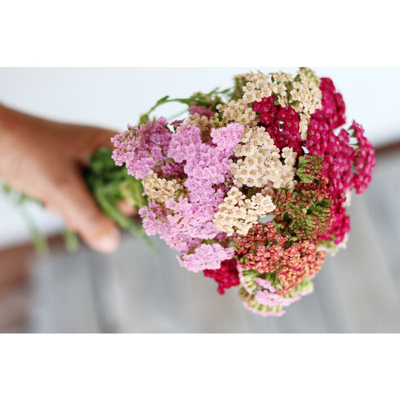 Summer Pastels Yarrow - Flowers