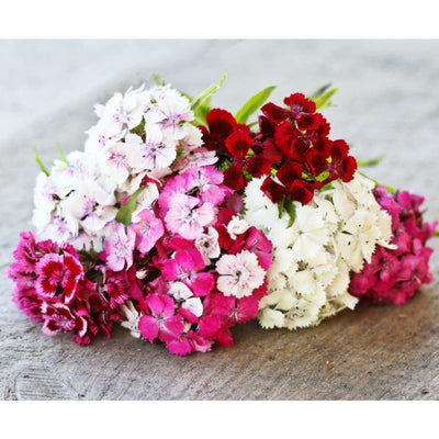 Sweet William Dianthus - Flowers