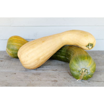 Tahitian Butternut Winter Squash (110 Days) - Vegetables