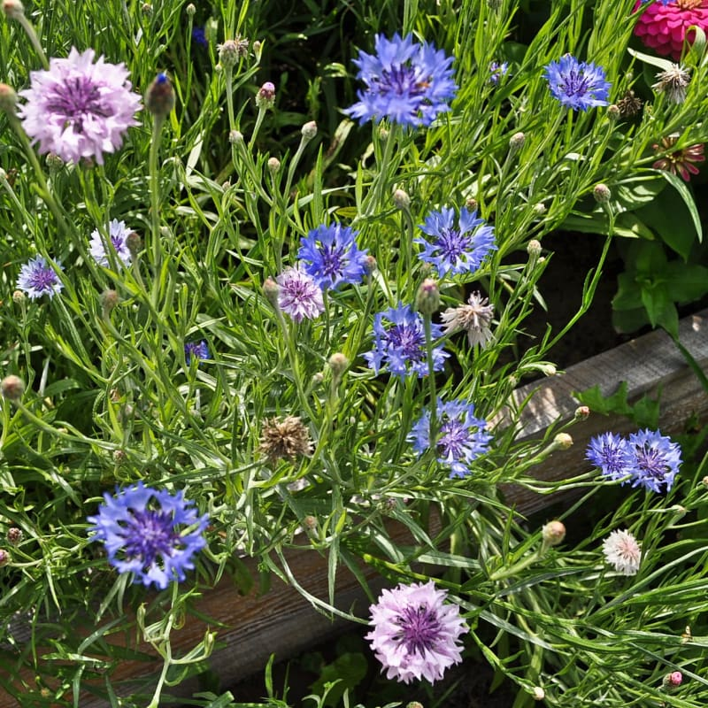 Tall Mix Centaurea - Flowers