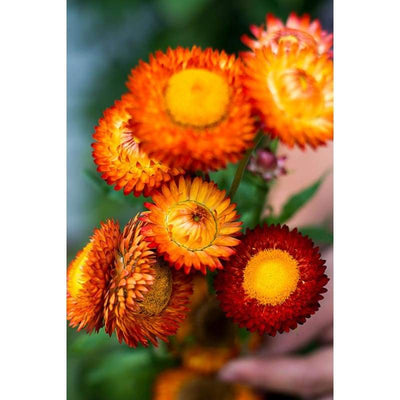 Strawflower - Tall Mix Helichrysum - Flowers