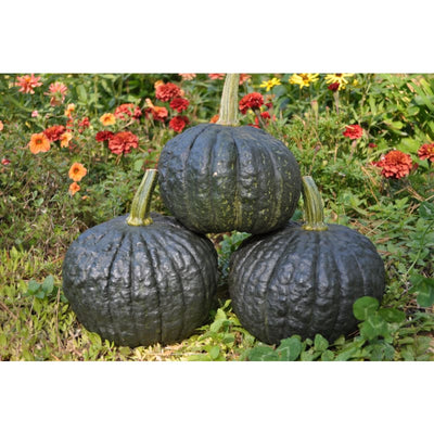Tetsukabuto Winter Squash (F1 Hybrid 90 Days) - Vegetables