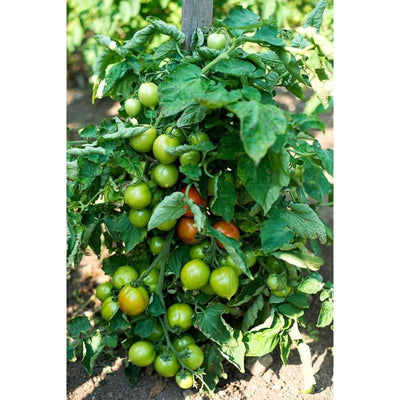 Tip Top Tomato (74 Days)-Discontinued - Vegetables