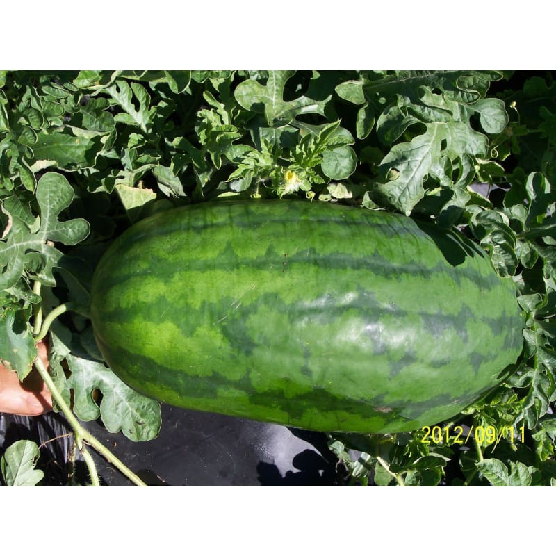 Tom Watson Watermelon (Heirloom, 90 Days )