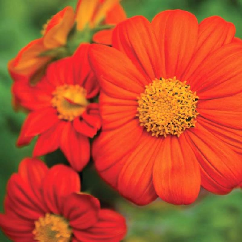 Torch Tithonia - Flowers