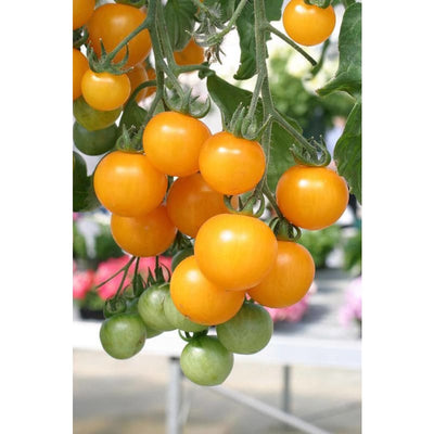Tumbling Tom Yellow Tomato (75 Days) - Vegetables