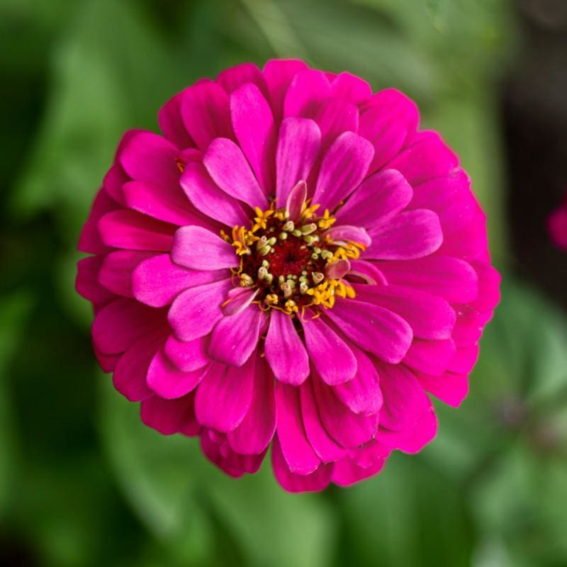 Uproar Rose Zinnia - Flowers