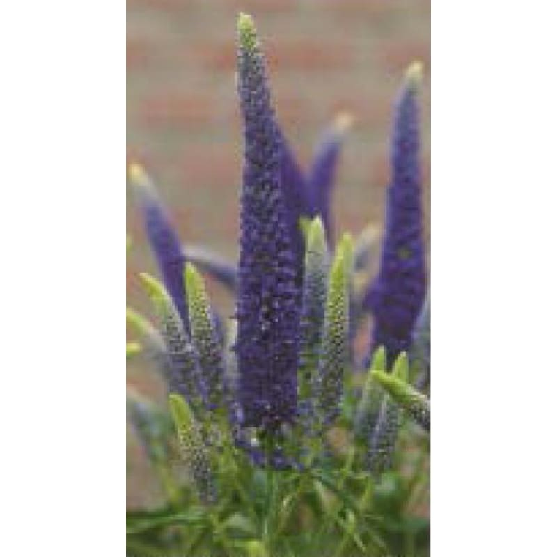 VERONICA longifolia (Speedwell) FIRST GLORY -Discontinued - Spring