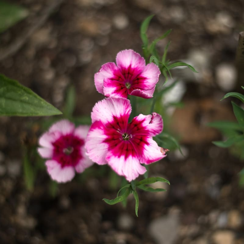 Victoriana Dianthus - Flowers