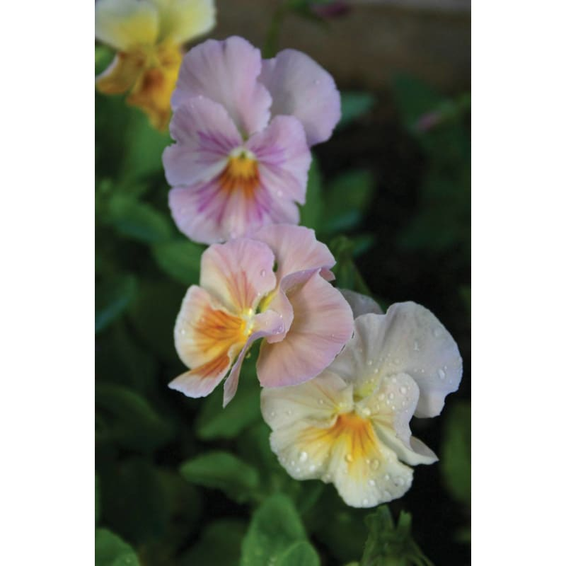 Viola - Brush Strokes - Discontinued - Flowers