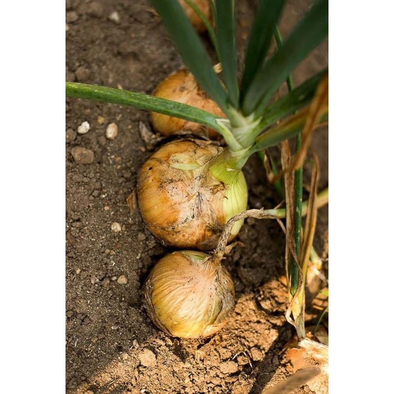 Walla Walla Onion Seeds (105 DAYS)