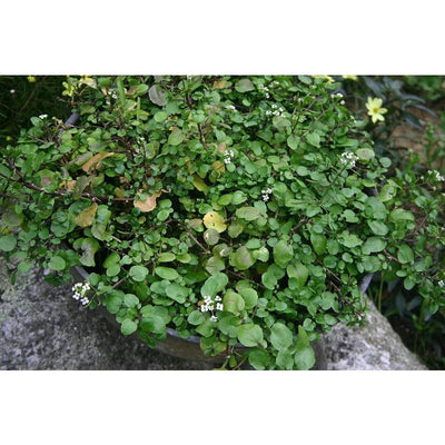 Watercress (50 Days) - Vegetables
