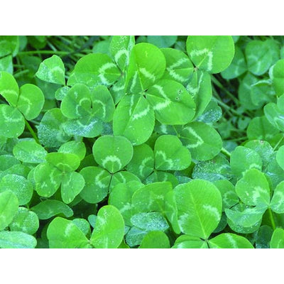 White Clover Cover Crop - Cover Crops