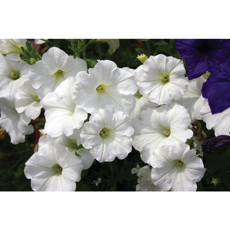 White Easy Wave Petunia - Flowers